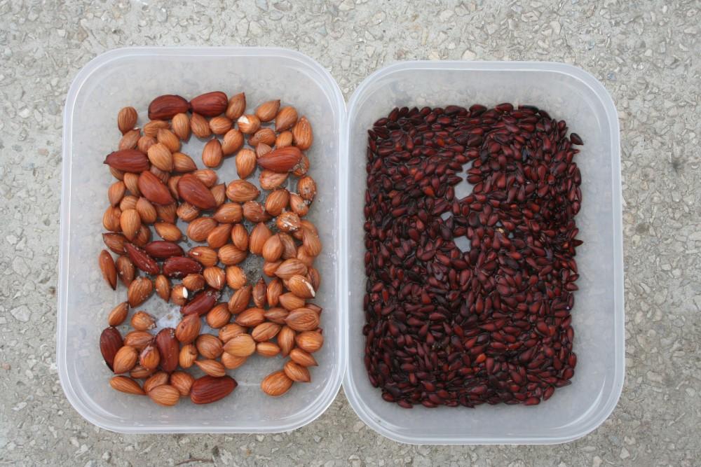 Germinarea sîmburilor de caise și a semințelor de mere