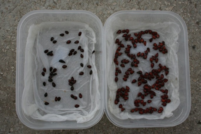 Semințe de gutui și de pere puse la stratificat