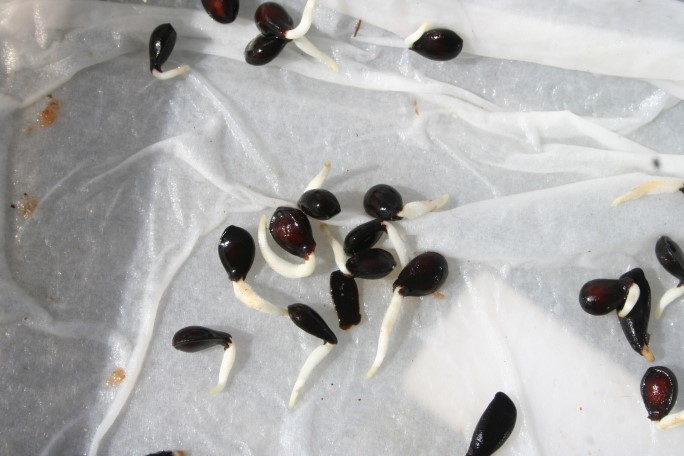Semințe de pere germinate