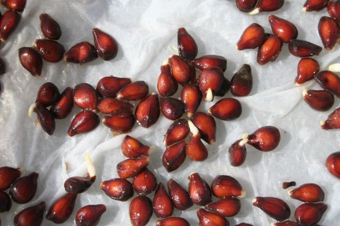 Semințe de gutui germinate