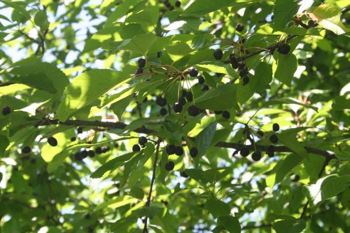 Cireșe negre