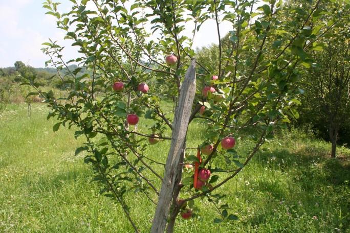 Măr Ionathan