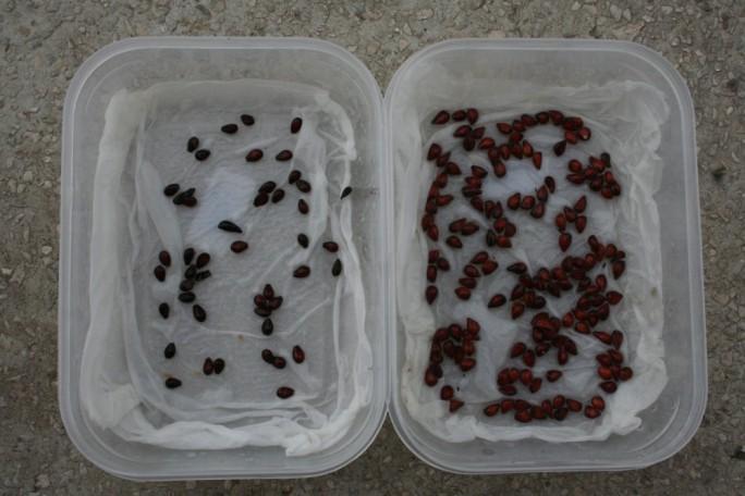 Stratificarea semințelor la frigider