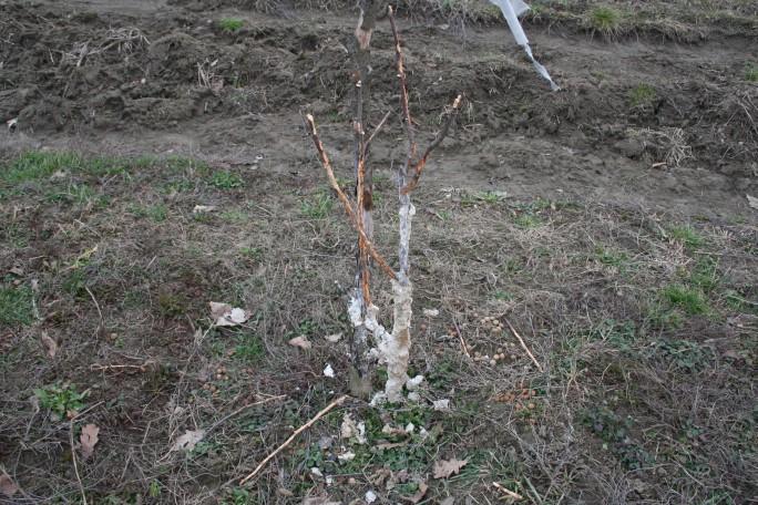 Pomi roși de iepuri, poză de anul trecut
