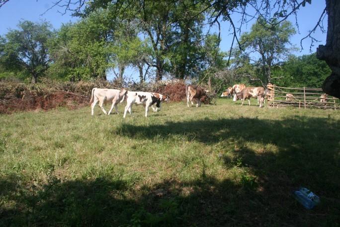 Țarcul vacilor