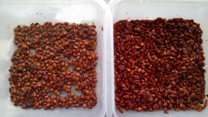 Semințe gutui și mere