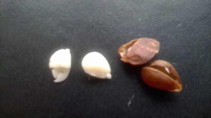 Semințe mere