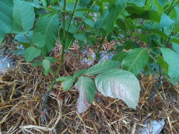 Probleme cu frunzele la nuc